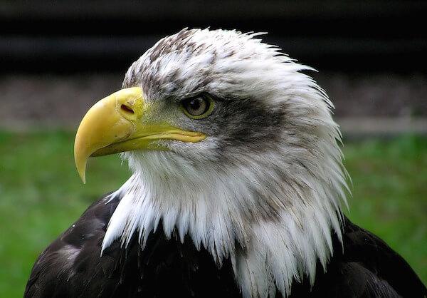 「鷹の選択」は大ウソ〜鷹は選択もしないしツメを剥がしたりもしない〜